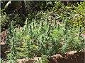 Cannabis crop growing in the Seychelles.jpg