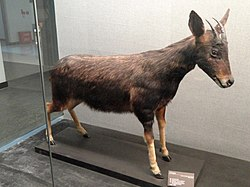 Capricornis milneedwardsii - Kunming Natural History Museum of Zoology - DSC02439.JPG