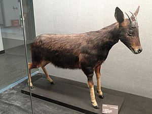 Mainland serow - Image: Capricornis milneedwardsii Kunming Natural History Museum of Zoology DSC02439
