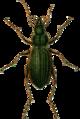 Carabus auratus Jacobson.png
