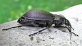 Carabus nemoralis female side.jpg