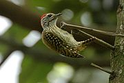 Cardinalwoodpecker