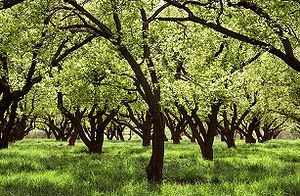 Orchard in full bloom, Fruita, Utah, USA. Frui...