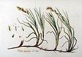 Carex arenaria — Flora Batava — Volume v9.jpg