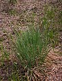 Carex elata plant (05).jpg