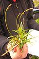 Carex firma (8412877957).jpg