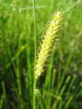 Carex vesicaria weib.jpeg