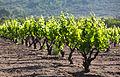 Carignan vineyard.jpg