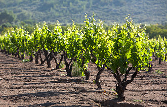Valle de Guadalupe - Vineyard in the valley