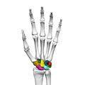 Carpus (left hand) 11 palmar view.png