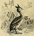 Cassell's book of birds (1875) (14563145588).jpg