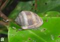 Cassidula nucleus.png