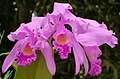 Cattleya trianae (14824292213).jpg