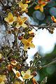 Cauliforous flower.jpg