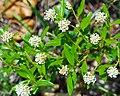 Ceanothus herbaceus (24784109305).jpg