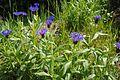 Centaurea montana Bergklint 01.jpg