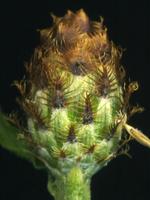Centaurea stoebe ssp micranthos EP4490-03.png