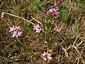 Centaury on the former Barton tip - geograph.org.uk - 1391080.jpg