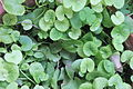 Centella asiatica (Memory plant).JPG
