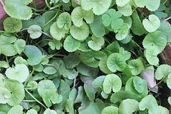 240px centella asiatica (memory plant)