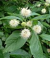 Cephalanthus occidentalis kz1.jpg