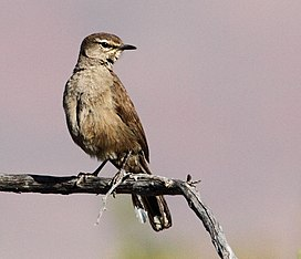 Cercotrichas coryphoeus, Namaqua National Park, South Africa.jpg