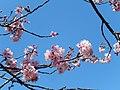 Cerejeiras Parque do Carmo 04.jpg
