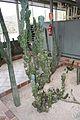 Cereus Peruvianus-Brasil&Argentina (1) (11983973136).jpg