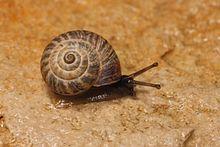 What Mollusk Uses Natural Buoyacny