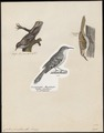 Certhia familiaris - 1700-1880 - Print - Iconographia Zoologica - Special Collections University of Amsterdam - UBA01 IZ19200349.tif