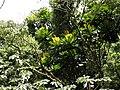 Cespedezia spathulata (Scott Zona) 001.jpg