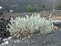 Chã das Caldeiras-Artemisia gorgonum.jpg