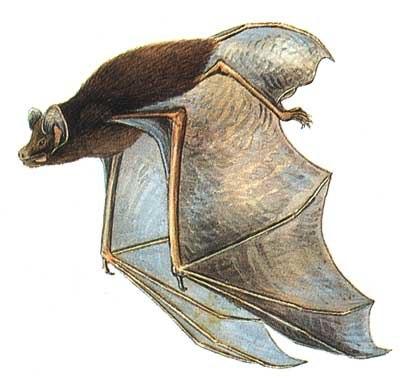 Chalinolobus morio-Cayley