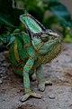Chameleon (478889251).jpg