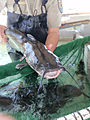 Channel catfish held by USFWS.jpg