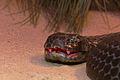 Chappell Island tiger snake.jpg