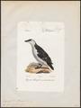 Chenalopex torda - 1842-1848 - Print - Iconographia Zoologica - Special Collections University of Amsterdam - UBA01 IZ17800183.tif