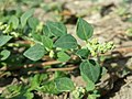 Chenopodium vulvaria sl64.jpg