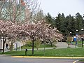 Cherry Tree Blossoms at Camosun College - Interurban Campus.jpg