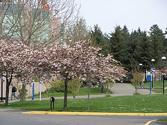 Camosun College - Cherry Tree Blossoms at Interurban Campus
