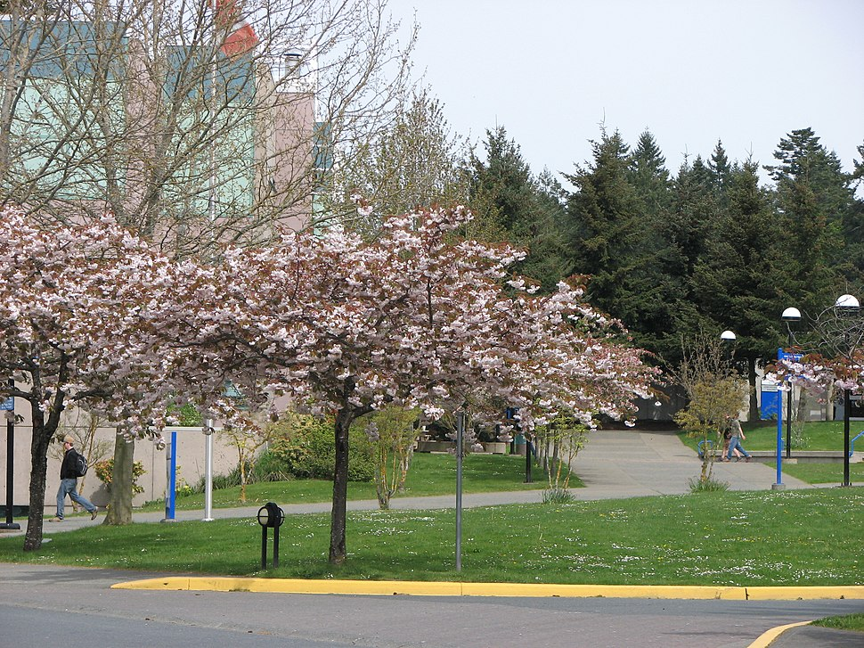 Cherry Tree Blossoms at Camosun College - Interurban Campus