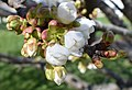 Cherry buds 1.JPG