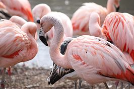 Phoenicopterus chilensis (Chileense flamingo)