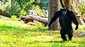 Chimpanzee in Nehru Zoological Park.jpg
