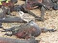 Christmas Iguanas - Marine Iguanas - Espanola - Hood - Galapagos Islands - Ecuador (4871417102).jpg