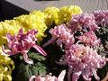 ChrysanthemumMorifolium6.jpg