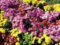 ChrysanthemumMorifolium7.jpg