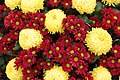 Chrysanthemum 'Misty Primrose' and 'Dublin'.JPG