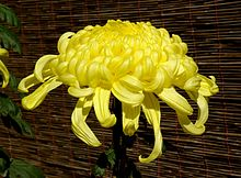 Chrysanthemum November 2007 Osaka Japan.jpg