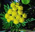 Chrysanthemum rupestre Iwainchin in Hijiridaira 2002-9-18.jpg